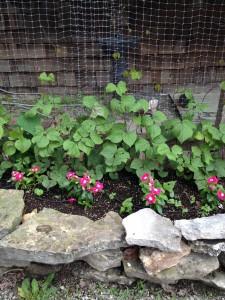 hyacinth bean vines basket weaving up the wall