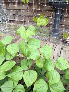 Hyacinth bean vines basket weaving their way up the wall